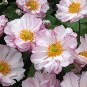 Anemone 'Loreley' image
