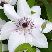 Clematis 'The Countess of Wessex' Thumb