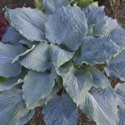 Hosta Shadowland® Diamond Lake