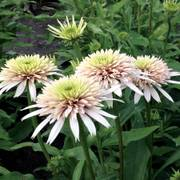 Echinacea Cone-Fections™ 'Cherry Fluff' Alternate Image 1