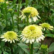 Echinacea Cone-Fections™ 'Honeydew' Alternate Image 1
