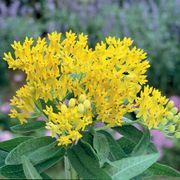 Asclepias 'Hello Yellow' image