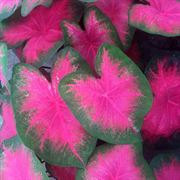 Caladium 'Flamingo' image