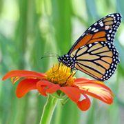 Monarch Butterfly Habitat Alternate Image 1