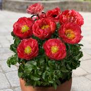 Paeonia 'Moscow'® image