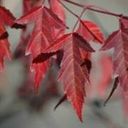 Acer Flame