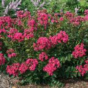 Lagerstroemia Bellini® Raspberry