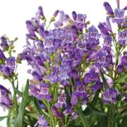 Penstemon barbatus Rock Candy Series Blue