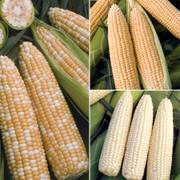 Obsessed with Corn Collection image