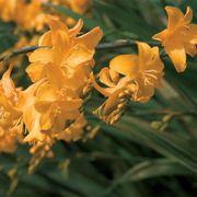 Crocosmia Walberton Yellow