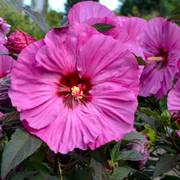 Hibiscus Summerific® 'Berry Awesome' Alternate Image 1