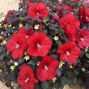 Hibiscus Summerific® Holy Grail Alternate Image 1