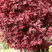Acer 'Twombly's Red Sentinel' image
