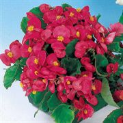 Pizzazz Deep Rose Hybrid Begonia Seeds