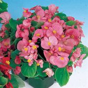 Pizzazz Pink Hybrid Begonia Seeds