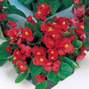 Pizzazz Red Hybrid Begonia Seeds