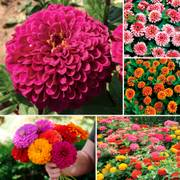 Parks Top Zinnia Seed Collection