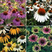 Parks Top Coneflower Collection