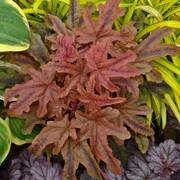 Heuchera Fun and Games® Red Rover