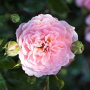 Apricot Drift® Groundcover Rose