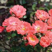 Coral Drift® Groundcover Rose