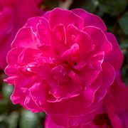 Highwire Flyer™ Climbing Rose