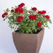 Red Sunblaze® Miniature Rose