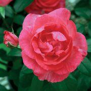 Tahitian Treasure™ Rose