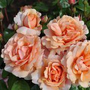 Rose Soul Sister Sunbelt®