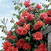 Blaze Climbing Rose