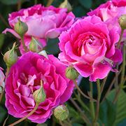 Mauvelous Shrub Rose