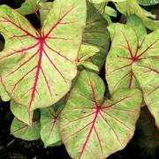 Autumn Beauty Caladium