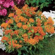Butterfly Weed Alternate Image 3