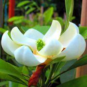 Magnolia Moonglow® image