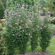 Hibiscus Purple Pillar® Alternate Image 1
