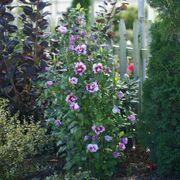 Hibiscus Purple Pillar® Alternate Image 2