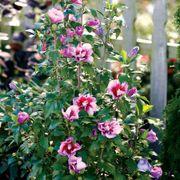 Hibiscus Purple Pillar® Alternate Image 3