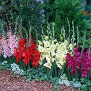 Glamini® Mixed Gladiolus Alternate Image 1