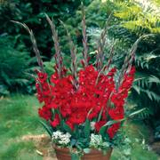 Glamini® Gladioli Tom