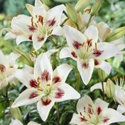Centerfold Asiatic Lily