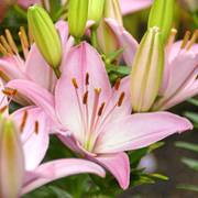 Sorocaba® Asiatic Lily