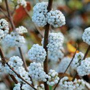 Callicarpa 'Snow Star' image