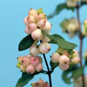 Symphoricarpos Magical® Autumn Blush image