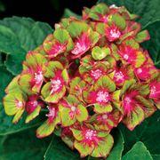 Hydrangea Next Generation® Pistachio image