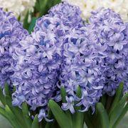 Hyacinth Chicago Alternate Image 1
