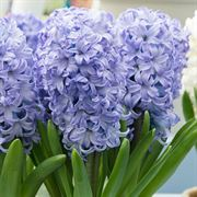 Hyacinth Chicago