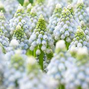 Muscari Ocean Magic image