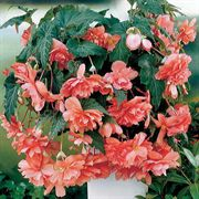 Illumination Pink Hybrid Begonia Seeds