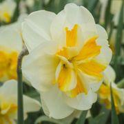 Narcissus Sorbet Thumb