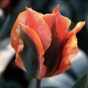Tulip Artist
